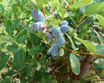 ハスカップは紫色の小さな果実です